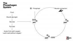 phosphagen system