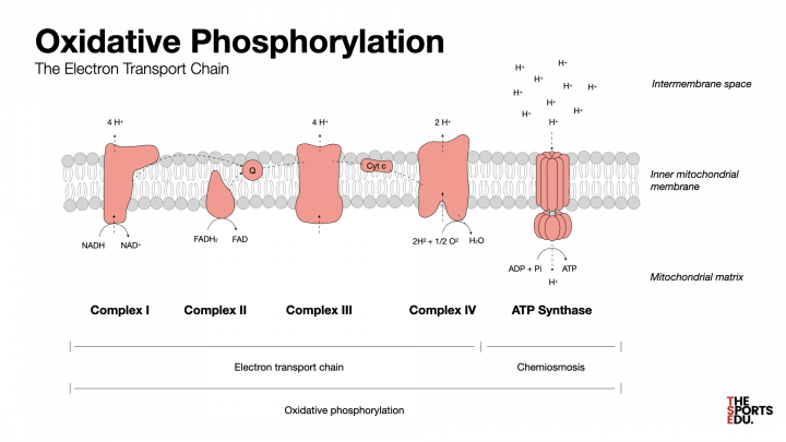 oxidative phosphorylation, chemiosmosis